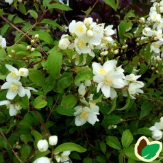 Philadelphus lewisii Waterton - Uægte Jasmin - Pibeved