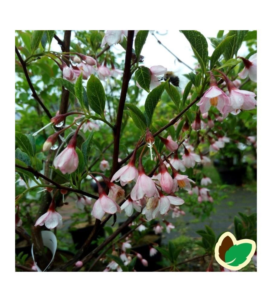 Styrax japonica Pink Chimes / Japansk Sneklokke