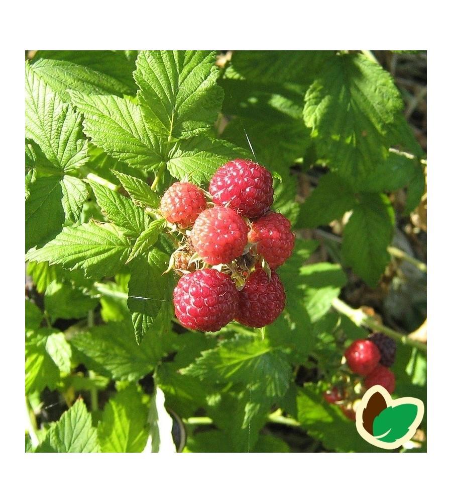 Hindbær Aroma Queen - Potte