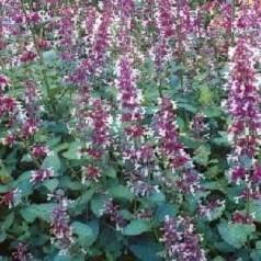 Nepeta grandiflora Dawn To Dusk / Storblomstret Katteurt