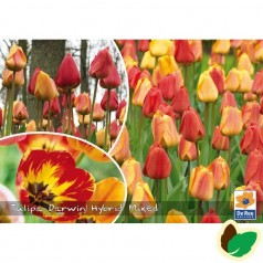Tulipanløg - Blanding Darwin Hybrid Mix - 50 Løg