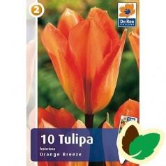 Tulipanløg Orange Breeze - Fosteriana Tulipan / 10 Løg