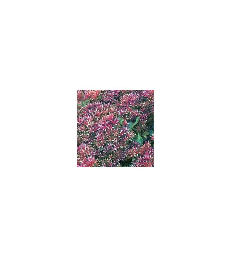 Sedum spurium Purpurteppich / Rød Stenurt