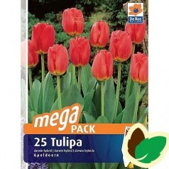 Tulipanløg Apeldoorn / MEGAPACK - 25 Løg