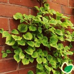 Hydrangea anomala petiolaris Miranda - Gulrandet klatrehortensia
