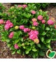 Hydrangea macrophylla Alpenglühen / Hortensia