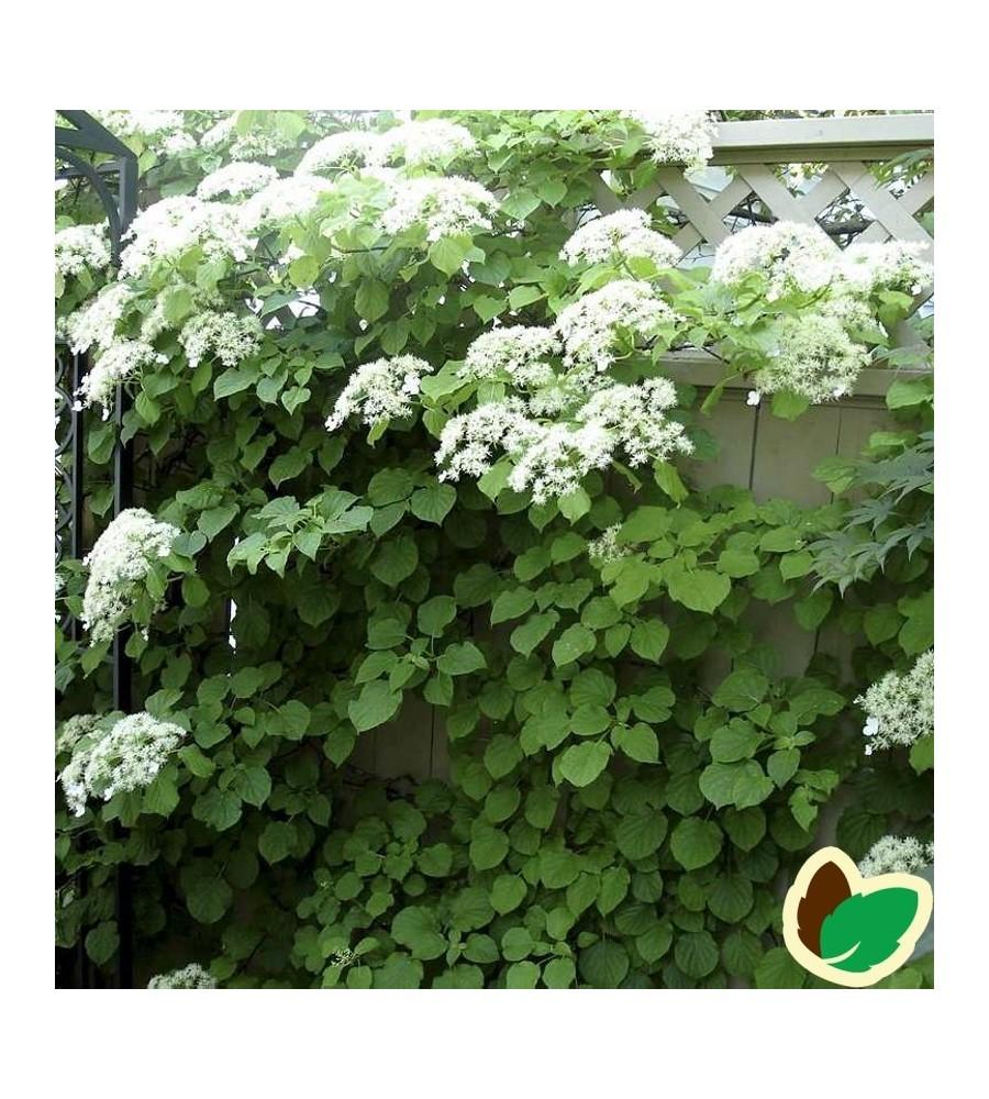 Hydrangea petiolaris / Klatrehortensia