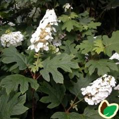 Hydrangea quercifolia Snowflake / Egebladet Hortensia
