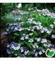 Hydrangea serrata Blue Bird / Hortensia