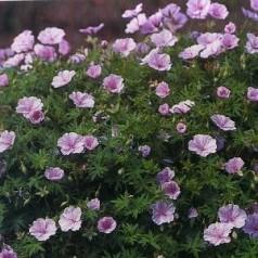 Geranium sanguineum var. Striatum / Storkenæb