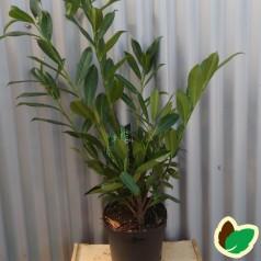 Prunus laurocerasus Caucasica - Laurbærkirsebær / 40-60 cm.