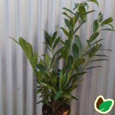 Prunus laurocerasus Caucasica - Laurbærkirsebær / 50-60 cm. i potte.