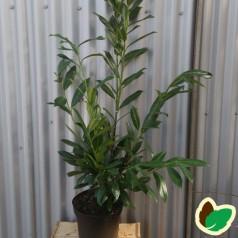 Prunus laurocerasus Caucasica - Laurbærkirsebær / 80-100 cm. i potte.