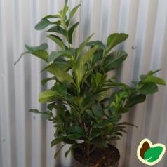 Prunus laurocerasus Etna - Laurbærkirsebær / 30-40 cm. i potte.