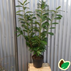 Prunus laurocerasus Novita - Kirsebærlaurbær / 80-100 cm. i potte.