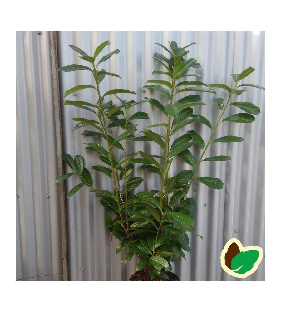 Prunus laurocerasus Novita - Laurbærkirsebær / 80-100 cm.