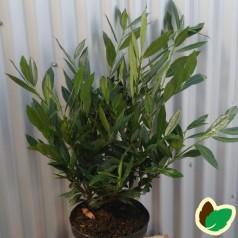 Prunus Laurocerasus Otto Luyken - Laurbærkirsebær / 40-50 cm.