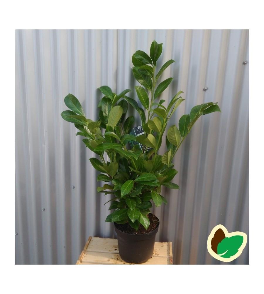 Prunus laurocerasus Rotundifolia - Laurbærkirsebær / 50-70 cm.