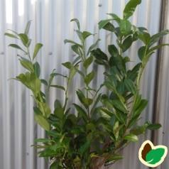Prunus laurocerasus Rotundifolia - Laurbærkirsebær / 60-80 cm.