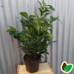 Prunus laurocerasus Etna - Laurbærkirsebær / 40-50 cm. i potte.