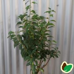 Prunus lusitanica Angustifolia - Portugisisk Laurbærkirsebær / 40-50 cm.