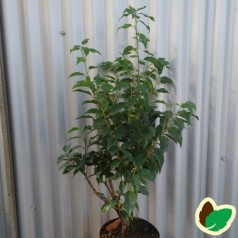 Prunus lusitanica Angustifolia - Portugisisk Laurbærkirsebær / 50-60 cm.