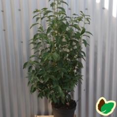 Prunus lusitanica Angustifolia - Portugisisk Laurbærkirsebær / 60-80 cm.