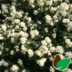 Hvid Snebær - Symphoricarpos doorenbosii White Hedge / 10 stk. 30-50 cm. barrods - s