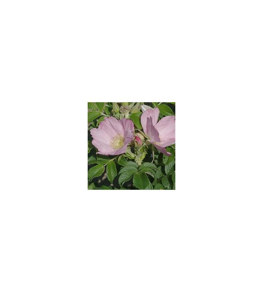 Rose Fru Dagmar Hastrup - Buskrose / Barrods
