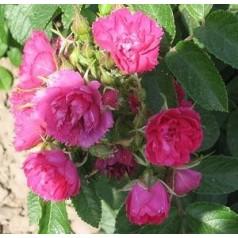 Rose F.J. Grootendorst - Buskrose / Barrods