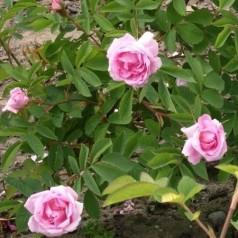Rose Hurdal - Park Rose