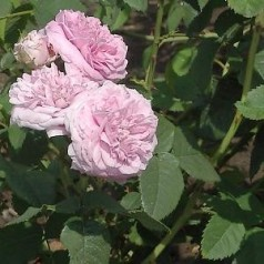 Rose Maidens Blush / Gammeldags Rose