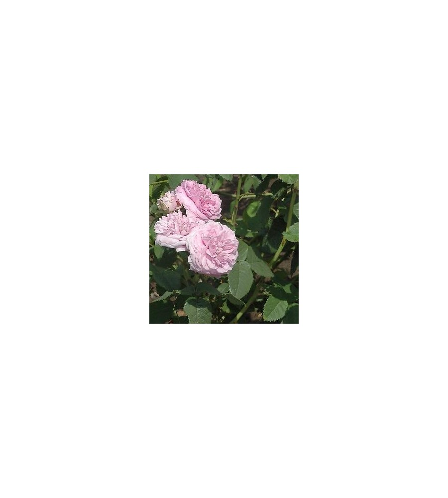 Rose Maidens Blush / Gammeldags Rose