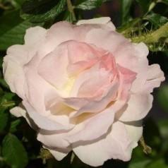Rose Ritausma - Historisk Rose