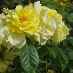 Rose Lichthönigin Lucia / Slyngrose