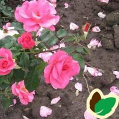Rose Romanze / Buketrose