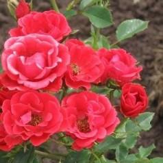 Rose Charming Cover - Bunddække rose Towne- og Country