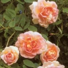 Rose Frühlingsduft - Buskrose / Barrods