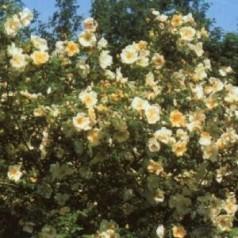 Rose Frühlingsgold - Buskrose / Barrods