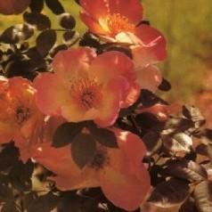 Rose Frühlingsmorgen / Buskrose