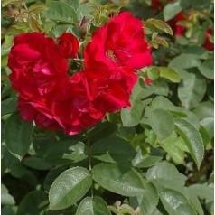 Rose Hansaland / Buskrose