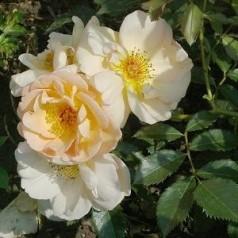 Rose Maigold / Buskrose