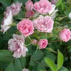 Rose Pink Grootendorst / Buskrose