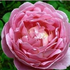 Rose Constance Spry - Engelsk slyngrose / Barrods