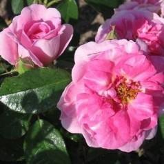Rose Gertrude Jekyll - Engelsk Rose / Barrods