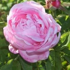 Rose Baroness Rotschild / Busk rose