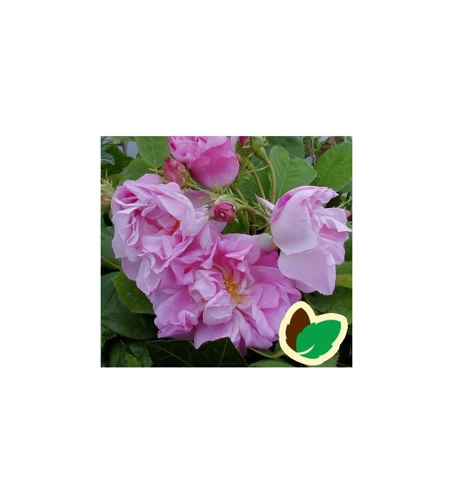 Rose Celsiana - Historisk rose