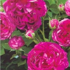 Rose Great Western / Historisk Rose