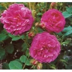 Rose Henri Martin / Gammeldags Rose