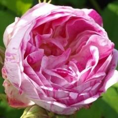 Rose Honorine de Brabant - Historisk Rose